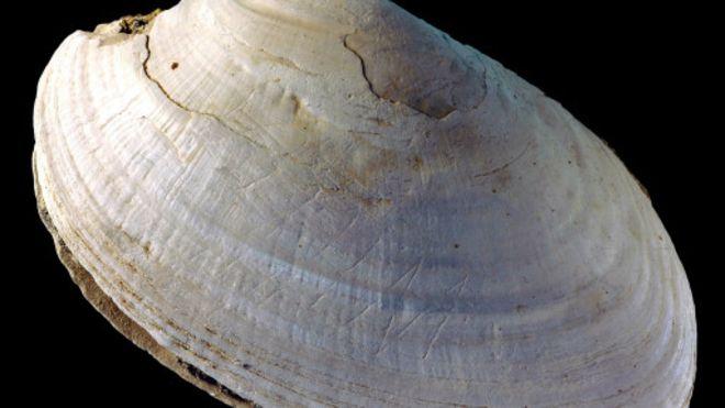 Kerang fosil Pseudodon