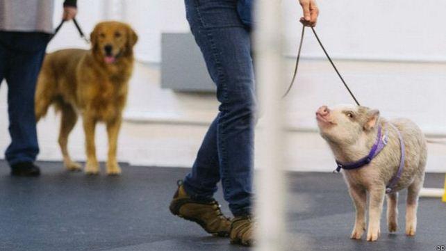 Seekor Babi Ini Diikutkan Tes Kelincahan Khusus Anjing