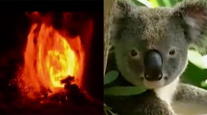 Gunung di Cile Meletus - 700 Koala Australia Dimusnahkan
